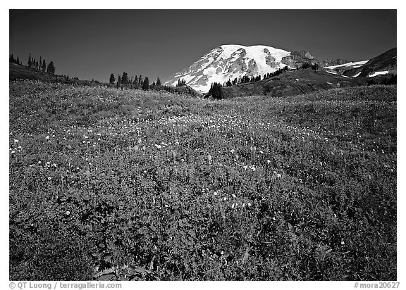 Lupine in meadow and Mt Rainier, Paradise. Mount Rainier National Park (black and white)