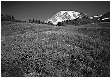 Lupine in meadow and Mt Rainier, Paradise. Mount Rainier National Park, Washington, USA. (black and white)