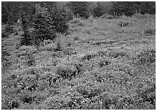Meadow with wildflowers and fog, Paradise. Mount Rainier National Park ( black and white)