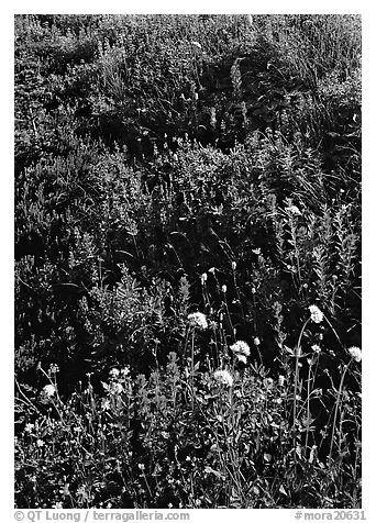 Close-up of meadow with wildflowers, Paradise. Mount Rainier National Park (black and white)