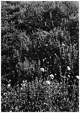 Close-up of meadow with wildflowers, Paradise. Mount Rainier National Park ( black and white)
