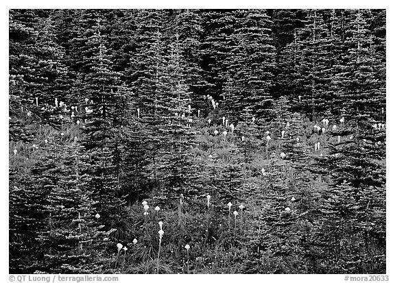 Beargrass and conifer forest. Mount Rainier National Park (black and white)