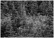 Beargrass and conifer forest. Mount Rainier National Park, Washington, USA. (black and white)
