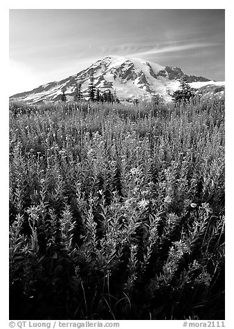 Dense field of wildflowers and Mt Rainier from Paradise, late afternoon. Mount Rainier National Park (black and white)