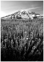 Dense field of wildflowers and Mt Rainier from Paradise, late afternoon. Mount Rainier National Park, Washington, USA. (black and white)