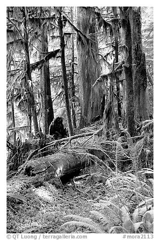 Ferns, mosses, and trees, Carbon rainforest. Mount Rainier National Park (black and white)