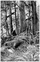 Ferns, mosses, and trees, Carbon rainforest. Mount Rainier National Park, Washington, USA. (black and white)