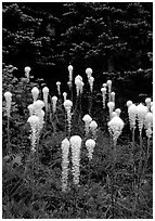 Beargrass. Mount Rainier National Park, Washington, USA. (black and white)