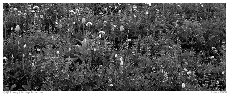 Close-up of flowers in meadow. Mount Rainier National Park (black and white)