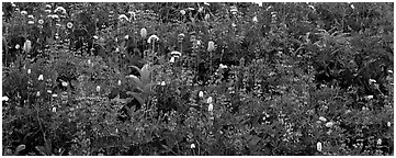 Close-up of flowers in meadow. Mount Rainier National Park (Panoramic black and white)