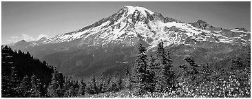 Avalanche lillies and Mount Rainier. Mount Rainier National Park (Panoramic black and white)