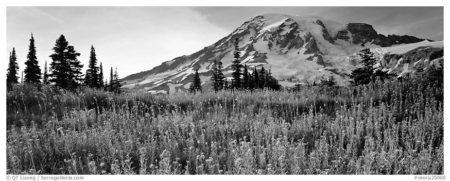 Carpet of wildflowers and snowy mountain. Mount Rainier National Park (black and white)