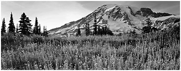 Carpet of wildflowers and snowy mountain. Mount Rainier National Park (Panoramic black and white)