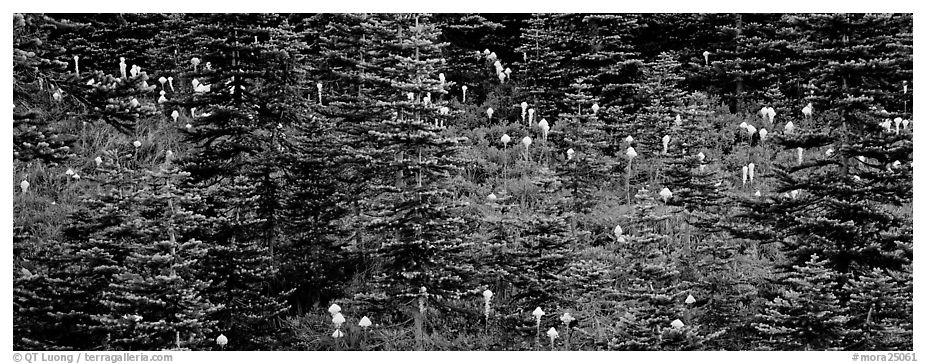 Bear grass and connifers. Mount Rainier National Park (black and white)
