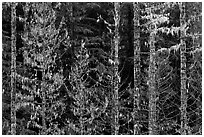Trees with lichens hanging from branches. Mount Rainier National Park ( black and white)