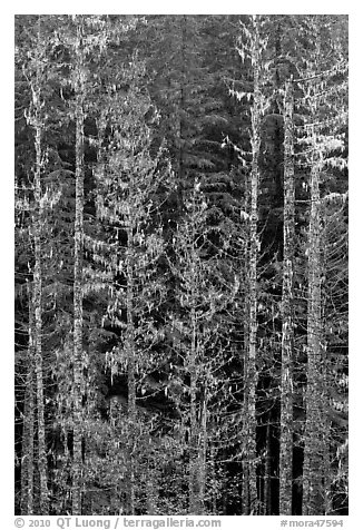 Pine trees and lichens. Mount Rainier National Park (black and white)