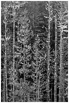 Pine trees and lichens. Mount Rainier National Park ( black and white)