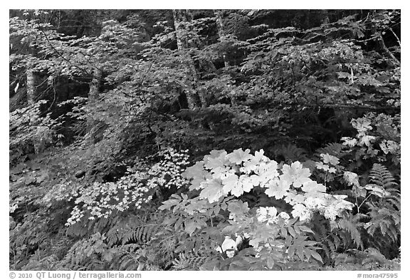 Big leaf maple on forest floor. Mount Rainier National Park (black and white)