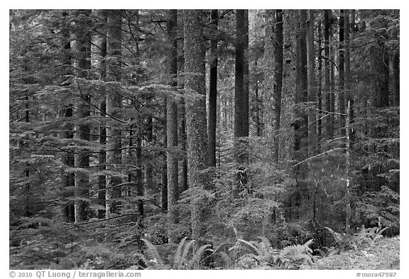 Forest. Mount Rainier National Park (black and white)