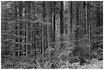 Forest. Mount Rainier National Park, Washington, USA. (black and white)