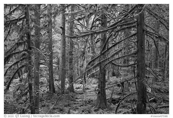 Trees with moss-covered branches. Mount Rainier National Park (black and white)