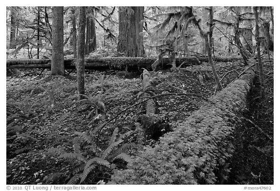 Ferns and fallen log. Mount Rainier National Park (black and white)