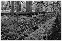 Ferns and fallen log. Mount Rainier National Park, Washington, USA. (black and white)