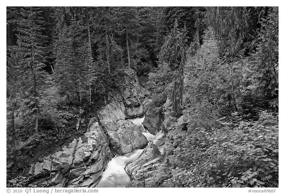 Van Trump Creek flows in lush forest. Mount Rainier National Park (black and white)
