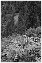 Shrub with berries and conifer forest. Mount Rainier National Park, Washington, USA. (black and white)