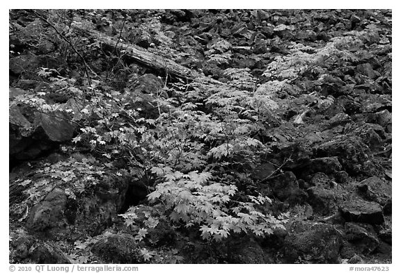 Shrubs in autumn color growing on talus slope. Mount Rainier National Park (black and white)