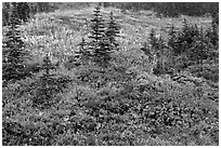 Paradise meadow in the fall. Mount Rainier National Park, Washington, USA. (black and white)