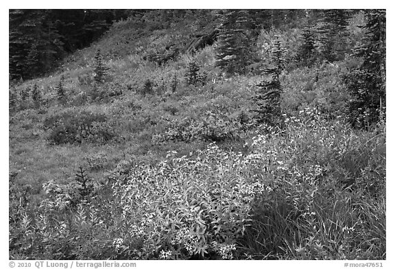 Wildflowers bloom while berry plants turn to autumn color in background. Mount Rainier National Park (black and white)