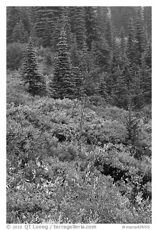 Meadow and forest in autumn. Mount Rainier National Park (black and white)
