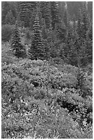 Meadow and forest in autumn. Mount Rainier National Park, Washington, USA. (black and white)