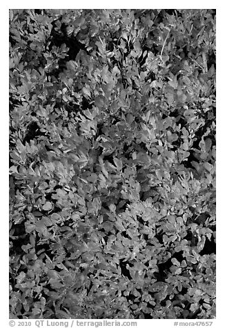 Close-up of berry leaves in fall color. Mount Rainier National Park (black and white)