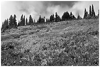 Brighly colored meadow and tree line in autumn. Mount Rainier National Park, Washington, USA. (black and white)
