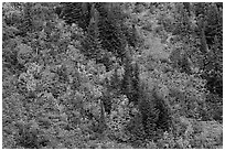 Slope with conifers and vine maples in autumn. Mount Rainier National Park ( black and white)