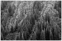 Vine maples color slopes in Stevens Canyon. Mount Rainier National Park ( black and white)