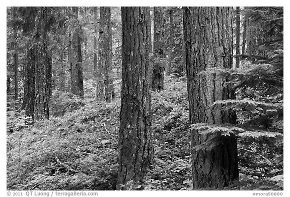 Conifer forest near Ohanapecosh. Mount Rainier National Park (black and white)
