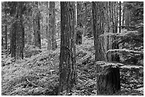Conifer forest near Ohanapecosh. Mount Rainier National Park ( black and white)