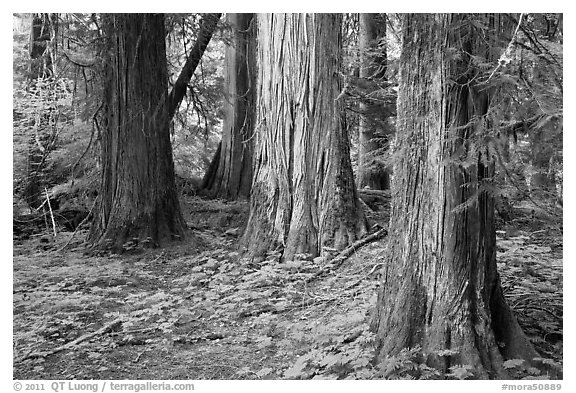 Patriarch Grove. Mount Rainier National Park (black and white)
