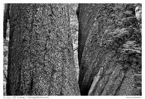 Twin trunks of 1000 year old douglas firs. Mount Rainier National Park (black and white)