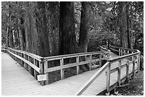 Boardwalk, Patriarch Grove. Mount Rainier National Park, Washington, USA. (black and white)