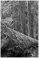 Moss-covered fallen tree in Patriarch Grove. Mount Rainier National Park ( black and white)