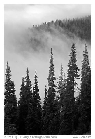 Forest and low clouds. Mount Rainier National Park (black and white)