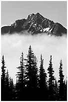 Spruce trees and mountain emerging above clouds. Mount Rainier National Park, Washington, USA. (black and white)