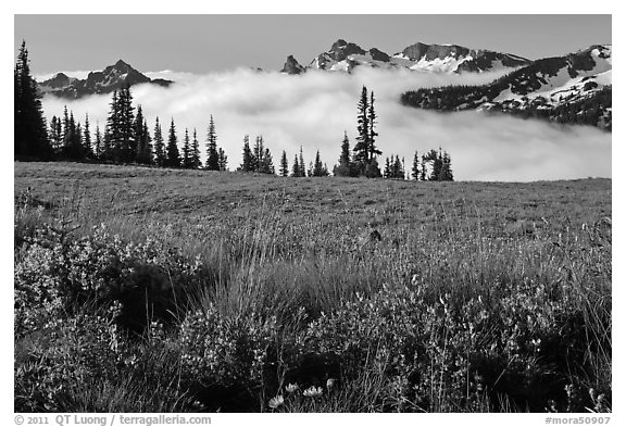 Lupine, meadow, and mountains emerging from clouds. Mount Rainier National Park (black and white)