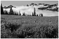Lupine, meadow, and mountains emerging from clouds. Mount Rainier National Park, Washington, USA. (black and white)