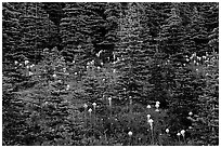 Beargrass and dark conifer trees. Mount Rainier National Park, Washington, USA. (black and white)