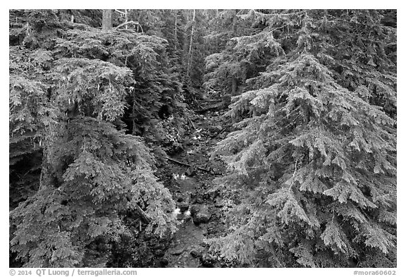 Creek in old-growth forest from above. Mount Rainier National Park (black and white)